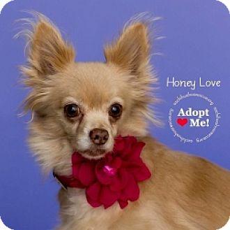 Chihuahua Mix Dog for adoption in Mesa, Arizona - Honey Love