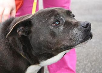 Pit Bull Terrier/Labrador Retriever Mix Dog for adoption in West Columbia, South Carolina - Cookie