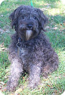Poodle (Standard)/Schnauzer (Miniature) Mix Dog for adoption in Wheaton, Illinois - BORIS