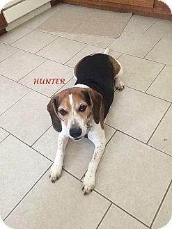 Beagle Dog for adoption in Ventnor City, New Jersey - HUNTER- Courtesy Posting