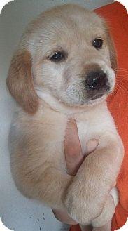 Labrador Retriever/Australian Shepherd Mix Puppy for adoption in SOUTHINGTON, Connecticut - Daisy