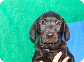 Labrador Retriever/Golden Retriever Mix Puppy for adoption in Oviedo, Florida - Bender