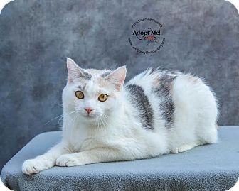 Domestic Shorthair Cat for adoption in Cincinnati, Ohio - Confetti