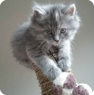 Domestic Longhair Kitten for adoption in McHenry, Illinois - Alice