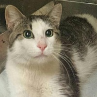 Domestic Shorthair Cat for adoption in Colfax, Iowa - Tate