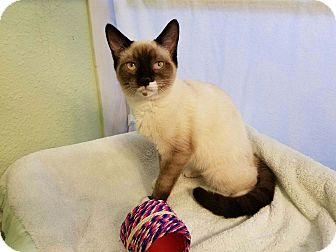 Siamese Kitten for adoption in Alamo, California - MSM2