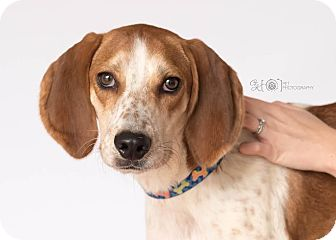 Beagle/Treeing Walker Coonhound Mix Dog for adoption in Virginia Beach, Virginia - Bo Duke