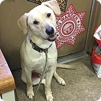 Adopt A Pet :: CHASE - Cadiz, OH