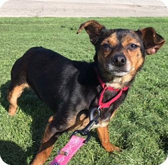 Chihuahua Mix Dog for adoption in Berea, Ohio - Twila