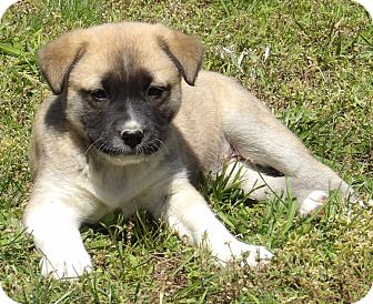 Akita/Australian Shepherd Mix Puppy for adoption in Burlington, Vermont - Pearl (6 lb) Video