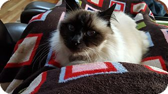Birman Cat for adoption in Fort Collins, Colorado - Ash