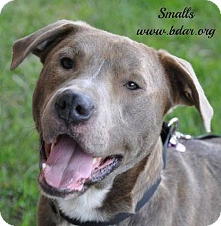 American Pit Bull Terrier/Pointer Mix Dog for adoption in Cheyenne, Wyoming - Smalls