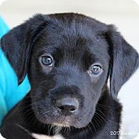 Adopt A Pet :: Huey - Bedford, VA