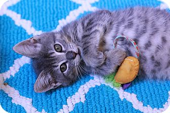 Domestic Shorthair Kitten for adoption in Woodbury, New Jersey - Emeril