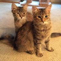 Maine Coon/Domestic Shorthair Mix Cat for adoption in Baltimore, Maryland - Josephina