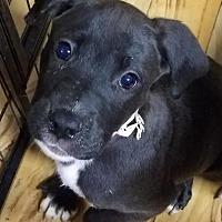 Adopt A Pet :: Expresso - Plainfield, IL