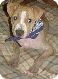 American Pit Bull Terrier Mix Dog for adoption in Berkeley, California - Ozzie