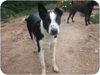 Border Collie/Cattle Dog Mix Dog for adoption in Chimayo, New Mexico - Jake
