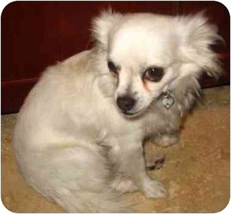 Chihuahua Mix Dog for adoption in San Diego, California - Yoda