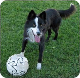 Border Collie Mix Dog for adoption in Salt Lake City, Utah - Jax