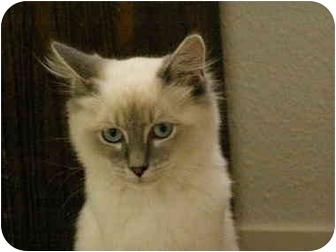 Ragdoll Kitten for adoption in Davis, California - Martini