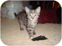 Domestic Shorthair Kitten for adoption in Tampa, Florida - Cougar