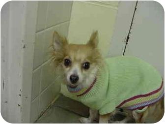 Papillon Mix Dog for adoption in Marshalltown, Iowa - Emma