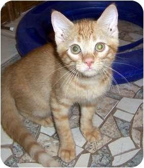 Domestic Shorthair Kitten for adoption in Oklahoma City, Oklahoma - Paco