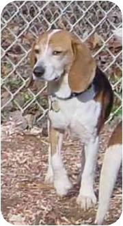 Beagle Dog for adoption in Waldorf, Maryland - Daisy Minor