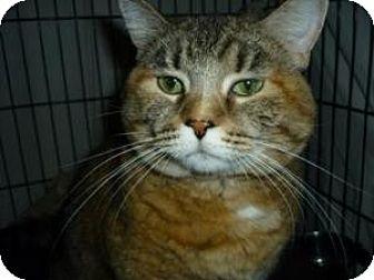 Domestic Shorthair Cat for adoption in Milwaukee, Wisconsin - Sara
