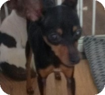 Manchester Terrier Dog for adoption in St. Petersburg, Florida - Thimble