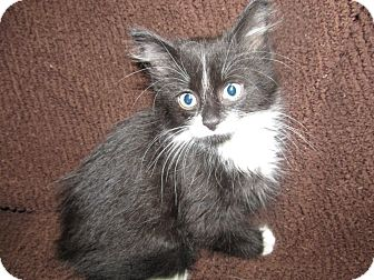 Domestic Mediumhair Kitten for adoption in China, Michigan - Freddie