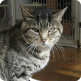 Domestic Shorthair Cat for adoption in Denver, Colorado - Mikey