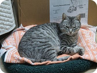 Domestic Shorthair Cat for adoption in Raritan, New Jersey - Pearl