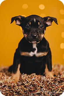 Australian Cattle Dog/Rottweiler Mix Puppy for adoption in Portland, Oregon - Pepe