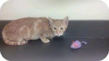 Domestic Shorthair Kitten for adoption in Columbus, Georgia - Hera 8130