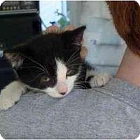 Adopt A Pet :: Fingers - Warren, MI