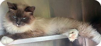 Himalayan Cat for adoption in Arcadia, California - Lalique