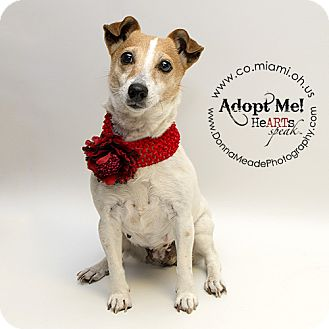 Jack Russell Terrier Dog for adoption in Troy, Ohio - Gina