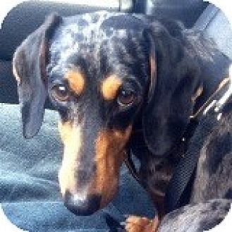 Dachshund Dog for adoption in Houston, Texas - Maxwell Bluebell