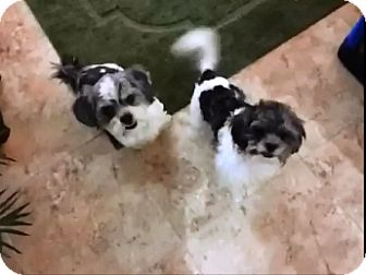 Shih Tzu Mix Puppy for adoption in Los Angeles, California - Miles & Lil Hank