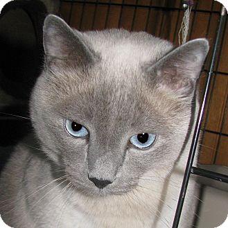 Siamese Cat for adoption in Seattle c/o Kingston 98346/ Washington State, Washington - Blue