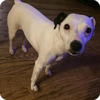 Jack Russell Terrier Mix Dog for adoption in Blue Bell, Pennsylvania - Jackie