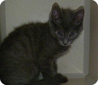 Domestic Shorthair Cat for adoption in Hamburg, New York - Brendon