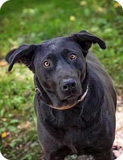 Labrador Retriever Mix Dog for adoption in Lewisville, Indiana - Mark