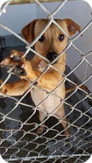 Terrier (Unknown Type, Medium) Mix Puppy for adoption in Visalia, California - Caleb