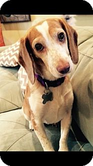 Beagle Mix Dog for adoption in St. Francisville, Louisiana - Norma Jean