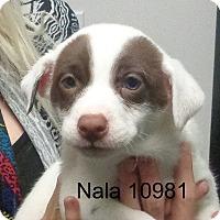 Adopt A Pet :: Nala - Greencastle, NC