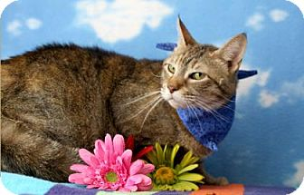 Domestic Shorthair Cat for adoption in Voorhees, New Jersey - Cleo