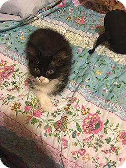 Domestic Shorthair Kitten for adoption in Arlington/Ft Worth, Texas - Betsy Belle